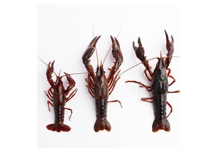 龙虾养殖对环境的要求