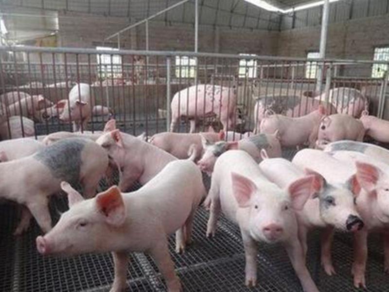 母猪产子后咬山东猪苗是什么原因呢?
