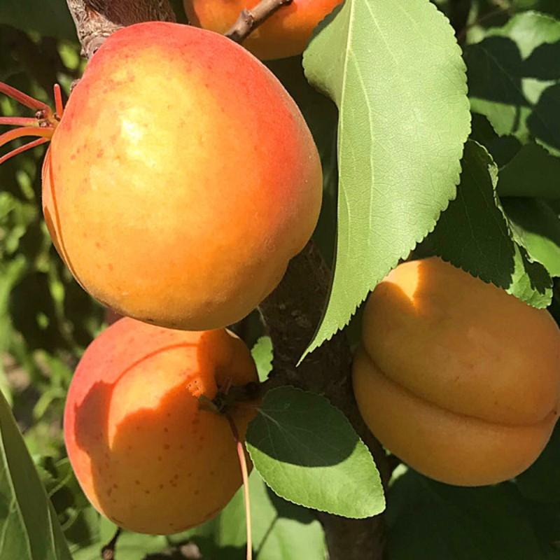 游龙杏 种苗