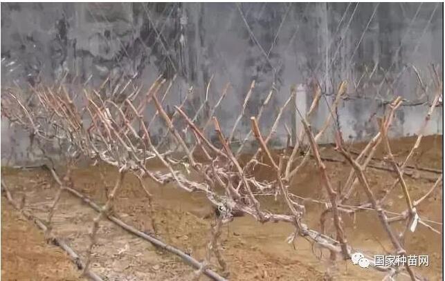 阳光玫瑰葡萄苗修剪技术