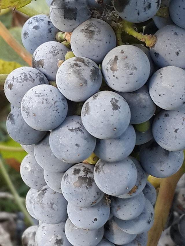 酿酒抗寒葡萄5号 种苗