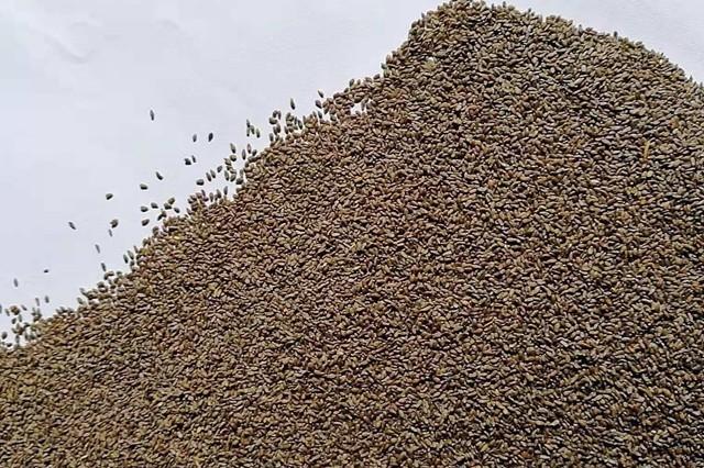 沙蒿籽药用功效