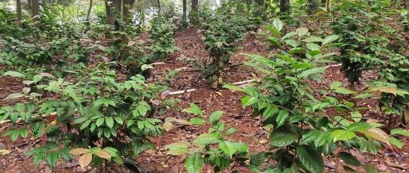 南宁树木园实施全国金花茶组培苗林下套种推广示范项目