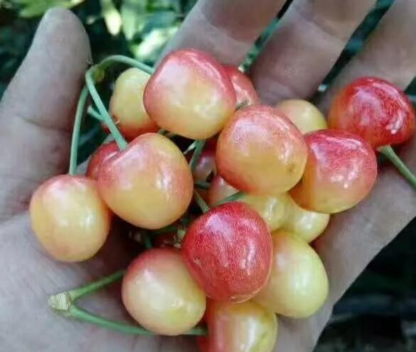 黄蜜樱桃 种苗