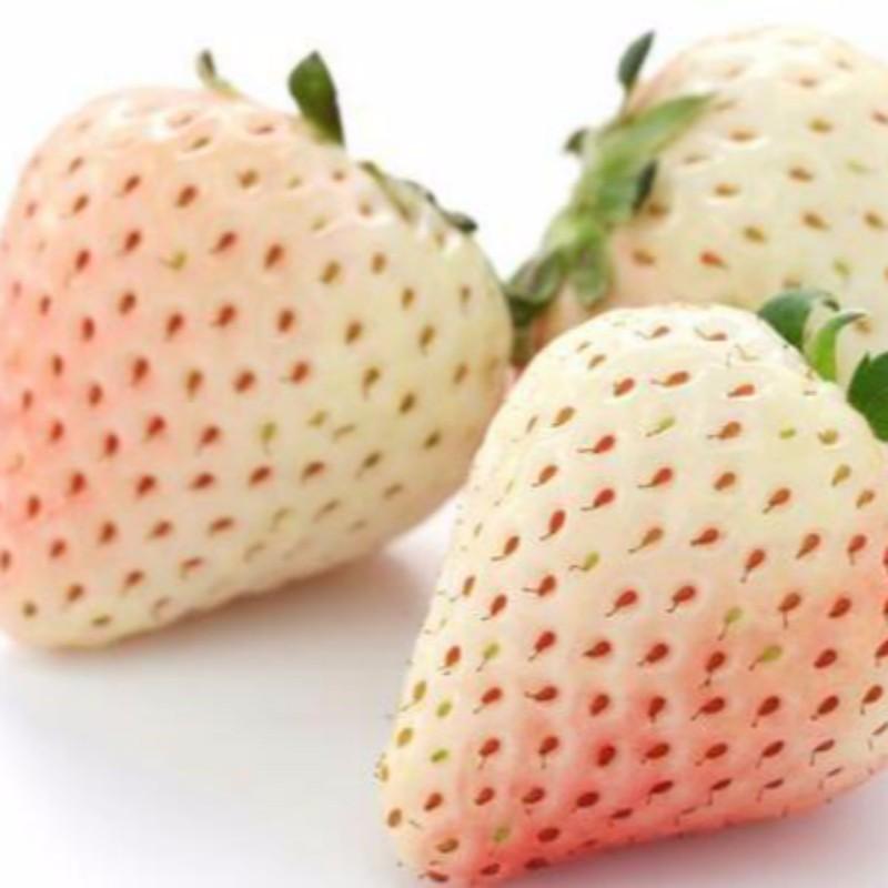 白雪公主草莓 种苗
