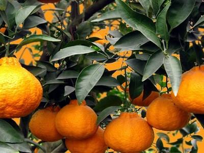 不知火柑橘苗