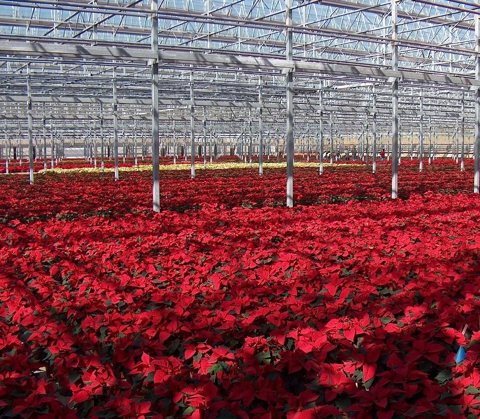 温室大棚花卉种植的越冬条件