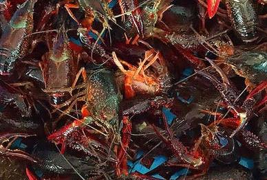 浅析提高小龙虾养殖水草的作用