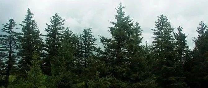 山地云杉:育种技术研究,入选林业科技推广成果库