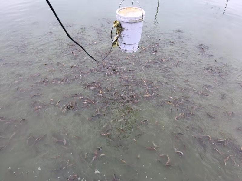 广安优质泥鳅养殖来电详询