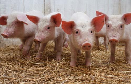 仔猪的养殖管理进程中如何防治黄痢病?