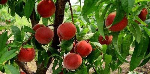 国庆红桃 种苗