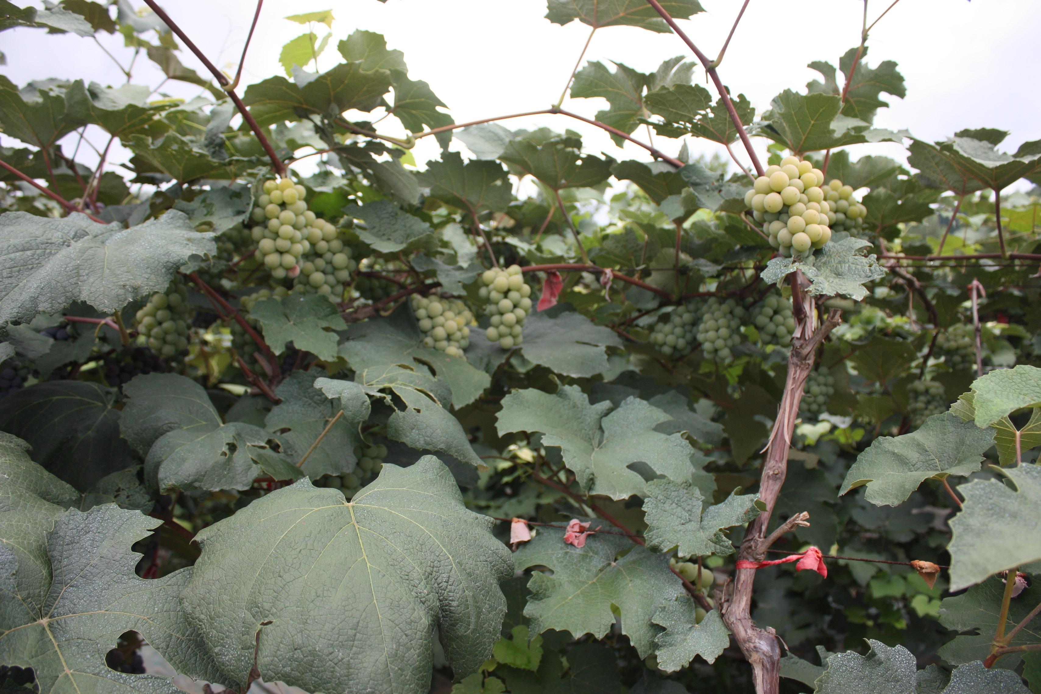 鲜食抗寒葡萄19号 种苗
