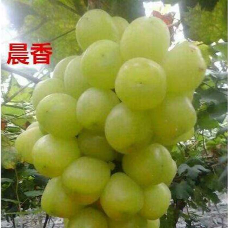 晨香葡萄 种苗