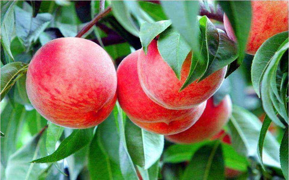 金秋红蜜 种苗