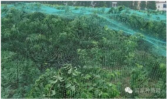抗寒葡萄种植方法与管理技术