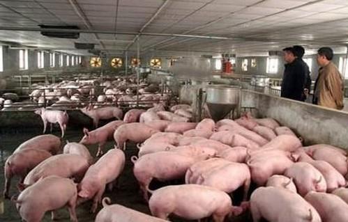 养殖户对于猪苗的饲养常见存疑