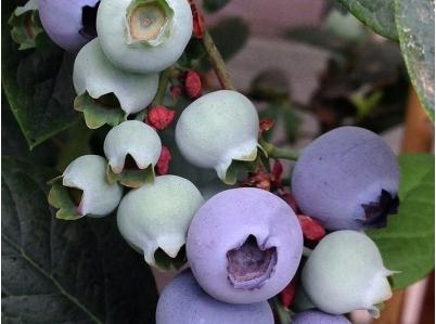 薄雾(Misty)蓝莓 种苗